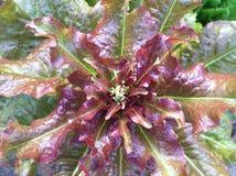 Légume organique Image stock