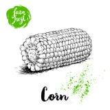 Légume tiré par la main de maïs de style de croquis Maïs frais bouilli de ferme Illustration organique de vecteur de céréale illustration libre de droits