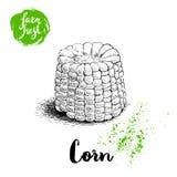 Légume tiré par la main de maïs de style de croquis Maïs frais bouilli de ferme Illustration organique de vecteur de céréale Photos stock