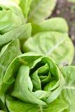 Légumes de chou avec des lames Photos libres de droits