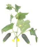 Légumes de concombres avec des lames et des fleurs Images libres de droits
