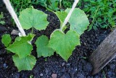Légumes de concombres avec des lames et des fleurs Photos stock