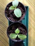 Légumes de concombres avec des lames et des fleurs Photo libre de droits