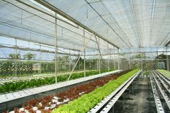 Légumes de culture hydroponique en serre chaude image libre de droits