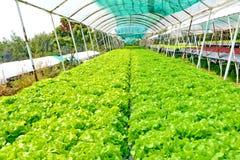 Légumes de culture hydroponique : plantation du légume sans sol Image libre de droits