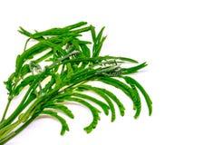 Légumes de Katin d'isolement Image stock