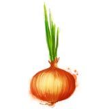 Légumes de vecteur d'aquarelle réglés : oignon Images stock