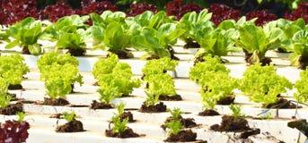 Légumes grandissants dans le jardin Photographie stock libre de droits
