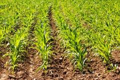 Légumes grandissants dans les lignes sur un potager Photos libres de droits
