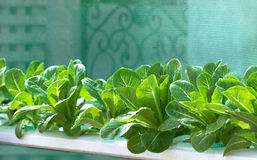 Légumes grandissants, légume d'usines, légume organique Images libres de droits