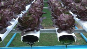 Légumes hydroponiques banque de vidéos