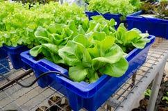 Légumes HYDROPONIQUES cultivés Image stock