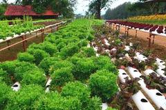 Légumes hydroponiques dans le domaine végétal hydroponique Photo libre de droits