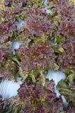 Légumes organiques dans le jardin image stock