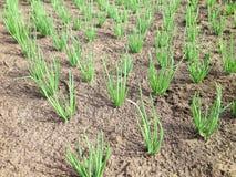 Légumes ou oignons Cultivant, concept d'agriculture photographie stock