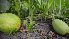 Légumes verts de courge banque de vidéos