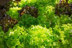 Légumes verts de culture hydroponique Image libre de droits