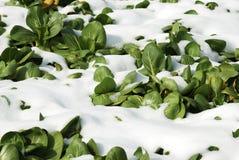 Légumes verts frais Images libres de droits