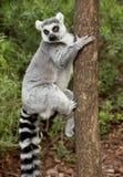 Lémur photographie stock libre de droits