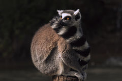 Lémur Imagen de archivo libre de regalías