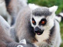 Lémur photo stock