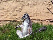 Lémur image libre de droits