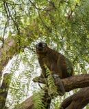 Lémur afrontado rojo Fotos de archivo