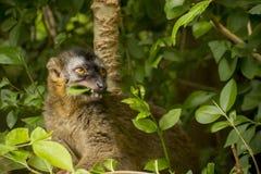 Lémur afrontado rojo Imagen de archivo libre de regalías