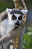 lémur Anillo-atado Imagen de archivo