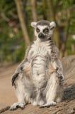 lémur Anillo-atado Foto de archivo