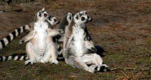 Lémur Anillo-atado fotos de archivo libres de regalías