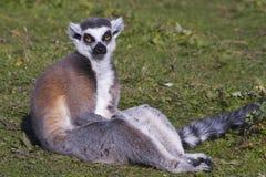 lémur Anillo-atado (catta del lémur) Imagenes de archivo