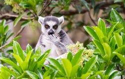 lémur Anillo-atado en el árbol Fotos de archivo libres de regalías