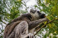 lémur Anillo-atado que come las hojas. Foto de archivo