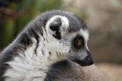 lémur Anillo-atado que mira a su lado imagen de archivo