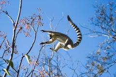 lémur Anillo-atado que salta de rama a la rama Foto de archivo libre de regalías
