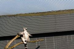 lémur Anillo-atado que se sienta en rama foto de archivo
