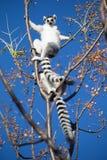 lémur Anillo-atado que se sienta en ramas Fotos de archivo libres de regalías