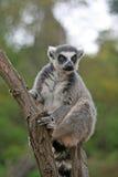 lémur Anillo-atado que se sienta en un árbol en un parque zoológico Imagen de archivo