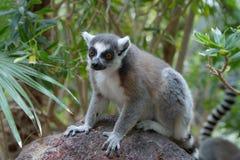 lémur Anillo-atado y x28; Catta& x29 del lémur; Foto de archivo libre de regalías