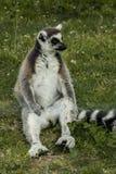 lémur Anneau-coupé la queue Images libres de droits