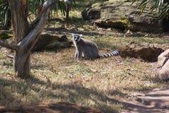 Lémur Anneau-coupé la queue avec les yeux jaunes photographie stock libre de droits