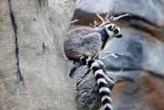 lémur Anneau-coupé la queue, catta de lémur photographie stock libre de droits