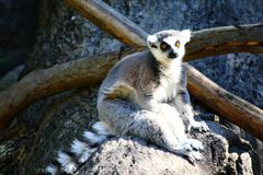 lémur Anneau-coupé la queue, catta de lémur images stock