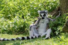 lémur Anneau-coupé la queue (catta de lémur) à l'ombre Photographie stock
