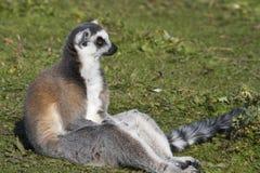 lémur Anneau-coupé la queue (catta de lémur) Images stock