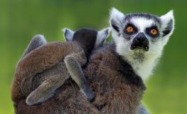 lémur Anneau-coupé la queue (catta de lémur) - mère et enfant Photographie stock
