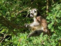lémur Anneau-coupé la queue dans l'arbre Image libre de droits