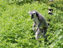 lémur Anneau-coupé la queue dans l'herbe Image libre de droits