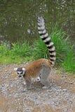lémur Anneau-coupé la queue dans un zoo Photographie stock